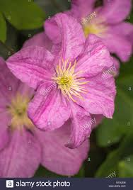 pink clematis climbing plant flowering stock photo royalty free