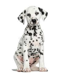 front dalmatian puppy sitting facing isolated royalty