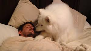 american eskimo dog meme fluffy samoyed won u0027t leave sleeping dad alone begs for walk in