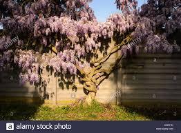 wisteria sinensis australian bush flower wisteria plant stock photos u0026 wisteria plant stock images alamy
