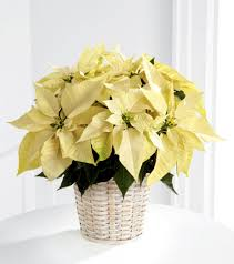 white poinsettia white poinsettia large in beaufort sc carolina floral design