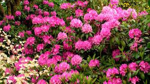 Pink Spring Flowering Shrubs - in season rhododendron grow beautifully
