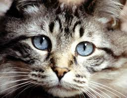 What Can Cause Temporary Blindness Blindness In Cats From Roundworms Pets