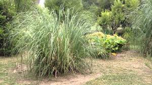 how to trim or burn pas grass the next growing season part
