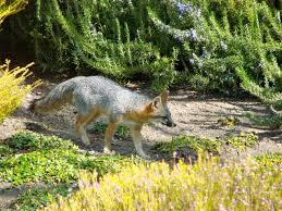 morris feeding foxes is a misguided kindness u2013 the mercury news