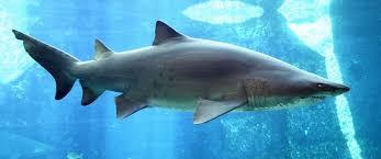 cannibal sand tiger shark eats siblings business insider