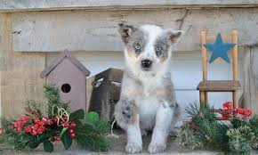 australian shepherd quebec healthy happy blue heeler australian shepherd puppies craigspets