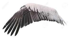 Bird Wing - bird wing spread belongs to white great pelican stock photo