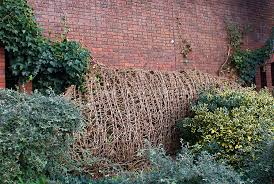 english ivy coming undone from garden wall plant u0026 flower stock