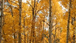 how to stake quaking aspen trees garden guides