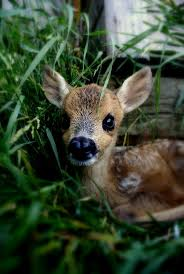 410 best animals deers fawns and similar images on pinterest