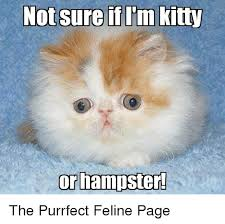 Purrrfect Meme - not sure if l m kitty or hster the purrfect feline page meme