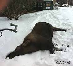 cyanide poisoned moose alaska department of fish and