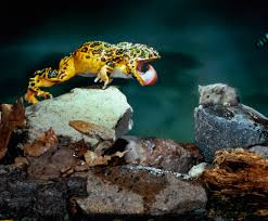 how frogs u0027 sticky tongues lift giant prey u2013 national geographic
