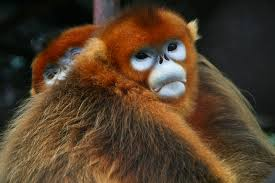 new species of sneezing monkey discovered in burma