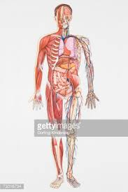 Picture Diagram Of The Human Body Illustration Crosssection Diagram Of Human Body Depicting Artery