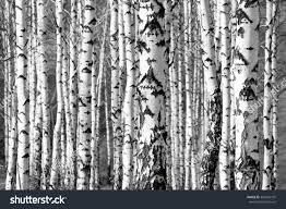birch trees trunks black white stock photo 384395707