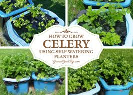 how to grow celery using self watering planters