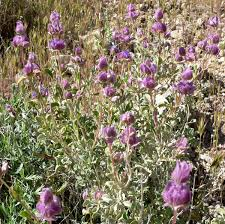 plants native to arizona purple sage wikipedia