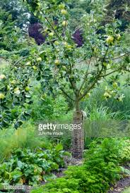 apple tree in vegetable garden stock photo getty images