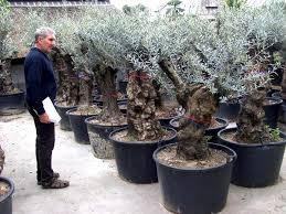 olea europeae olive tree buy olive trees plant shop olive shop all