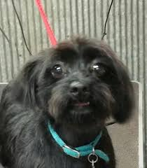 affenpinscher skin problems critter country dog grooming home facebook