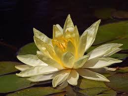 Lotus Flower Bloom - lotus flower growing plant care and facts about lotus