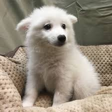 american eskimo dog male pure breed puppies queens ny nyc bichon frise beagle german