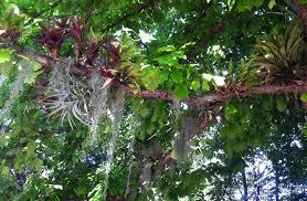 bringing the tropics to a denver backyard u2026bromeliads in the trees