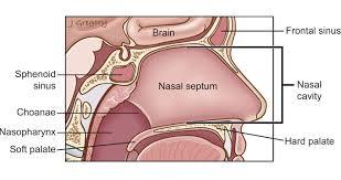 Nose Anatomy And Physiology Nose Cancer Nasal Cancer Anatomy Headandneckcancerguide Org