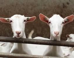 meet the 5 types of chinese zodiac goats