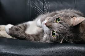 dietary reactions in cats petmd