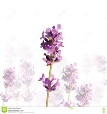 lavender flower in watercolor paint style stock vector image
