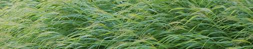 growing ornamental landscape grasses in minnesota