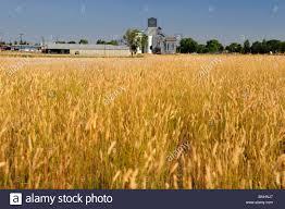 usa wheat fields havre montana field cornfield farming farm