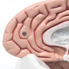 anatomical teaching models plastic human brain models classic