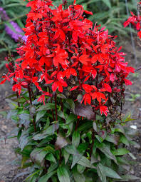 cardinal flower starship scarlet cardinal flower lobelia x speciosa starship