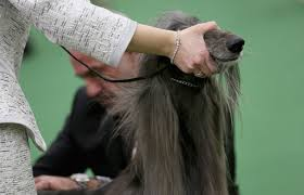 afghan hound ottawa gallery 2013 westminster kennel club dog show