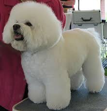 bichon frise breed standard bichon frise nonsporting dog breeds from the online dog