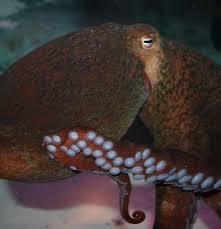 giant pacific octopus visit akron zoo aquarium exhibit
