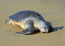 sea turtle information and facts turtleholic