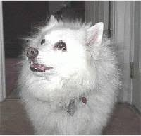 american eskimo dog shedding american eskimo dog information pictures of american eskimo dogs
