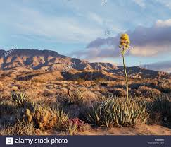 california anza borrego desert state park flowering desert agave