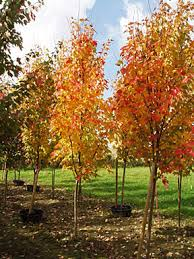 bowhall maple big tree supply