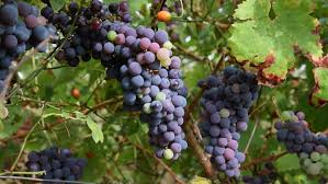 Grape Vine Pergola by Heavy Bunch Of Grapes Hanging On Vine Grape Arbor Pergola Patio
