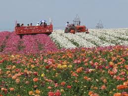 carlsbad flower garden the flower fields are blooming beautiful luchanik