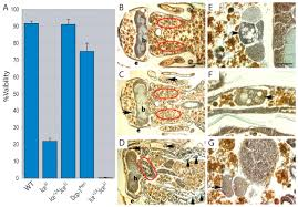 what is 138 311 as a percent the drosophila caspase ice is important for many apoptotic cell