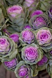 27 best ornamental cabbages images on ornamental
