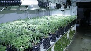 cannabis im garten laut dieses gerichtsbeschlusses ist der anbau cannabis in