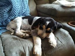 bluetick coonhound with cats 12 coonhounds too floppy for their own good